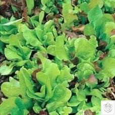 Salad Leaves Mixture 1 packet (6000 seeds) N/A
